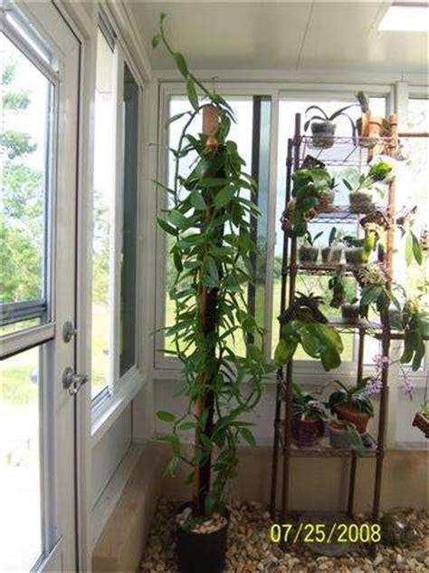 trick  growing vanilla beans indoors realfarmacycom