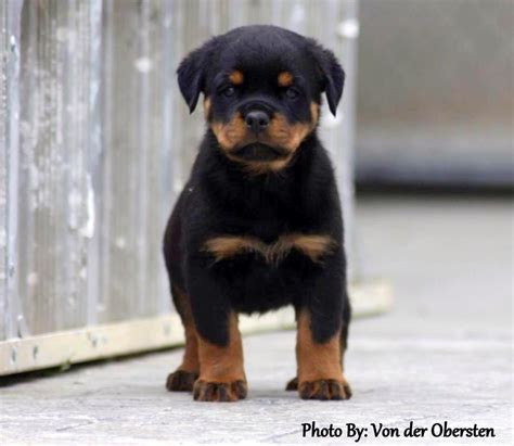 rottweiler puppies german pin rottweiler puppy hd desktop wallpaper fullscreen on