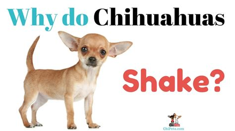 why do dogs shiver why do chihuahuas shake chi pets