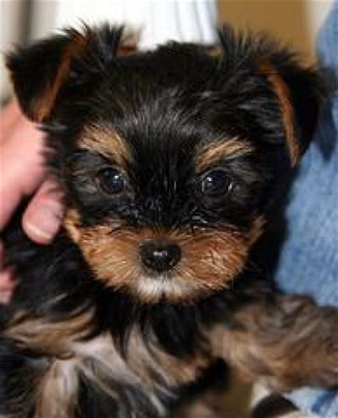 yorkie rescue ottawa 1000 ideas about free puppies for adoption on free puppies puppy breeds