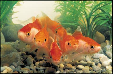 lade per acquario acqua dolce l acquario d acqua dolce informazioni di base viridea