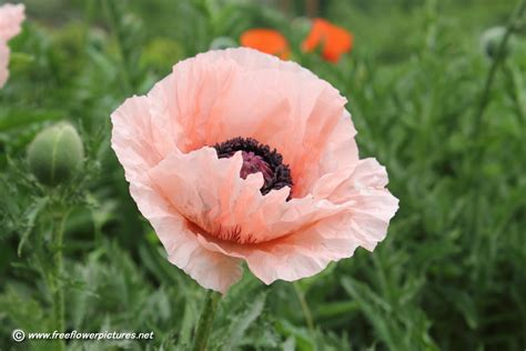 pink poppy flower picture flower pictures 1073