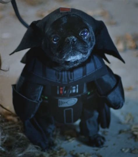 pug vader 17 best images about puppies on puppys and black lab puppies