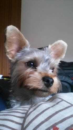 10 month yorkie for sale 10 month yorkie boy middlesbrough pets4homes