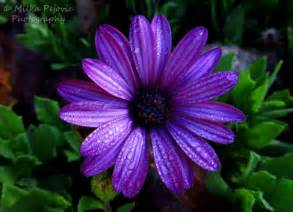 Dark purple aster flower with raindrops need a good purple for my