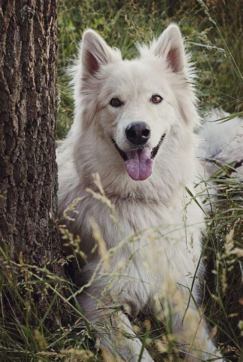 alaskan shepherd puppies best 25 alaskan shepherd ideas on wolf puppy german shepherd mix and