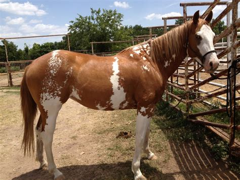 for sale horses looking for paint horses for sale