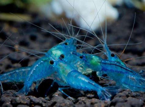 Udang Hias Aquascape Aura Blue Shrimp jenis udang hias blue pearl shrimp binatang peliharaan