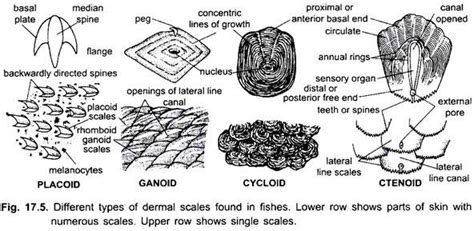 cycloid diagram placoid scales www pixshark images galleries with