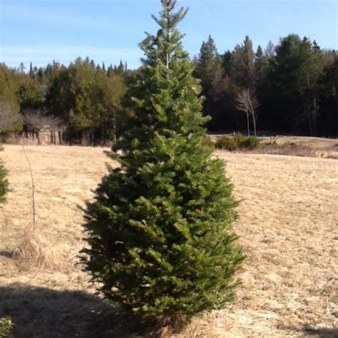 Balsam Tree - balsam fir cedar trees by mail