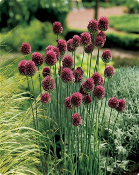 plant drumstick allium now