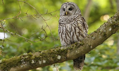 barred owl birds of north america online