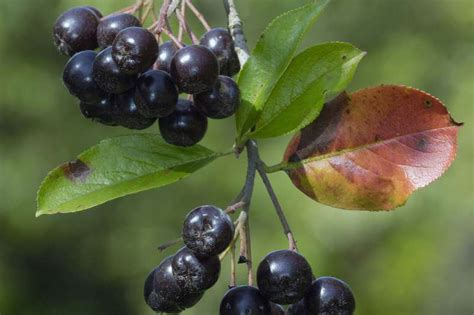 Aronia Pflanze Kaufen 150 by Aronia Wunderbeere Superfood Und Immunbooster