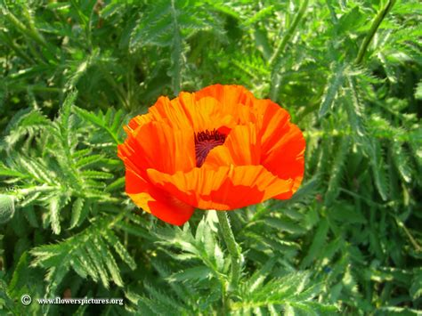 poppy flower plant picture