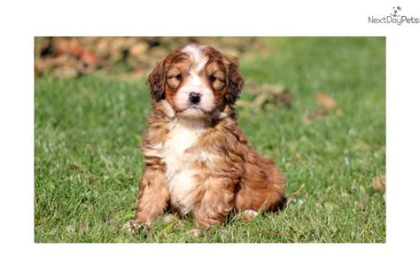 mini bernese mountain puppies for sale bernese mountain puppy for sale near lancaster pennsylvania fa670295 d451