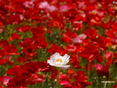flower wallpaper santabanta santabanta flower wallpaper www imgkid com the image