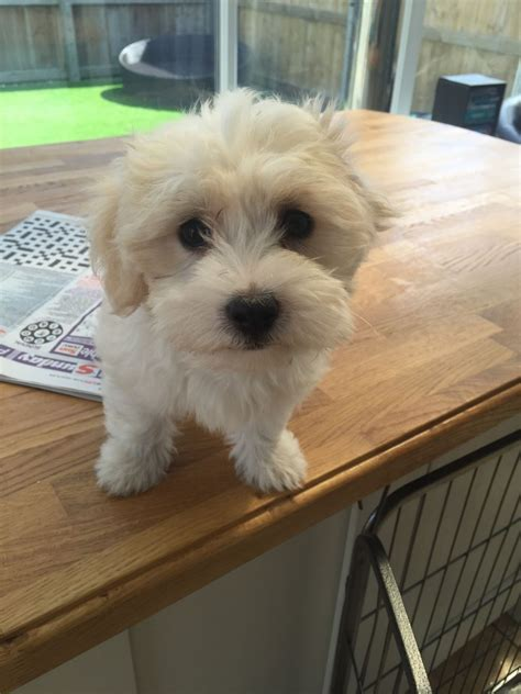 havanese breeders bc 3 4 coton x havanese puppies hull east of pets4homes