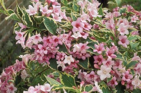 cespugli fioriti perenni resistenti al freddo quali sono i fiori perenni resistenti al gelo villegiardini