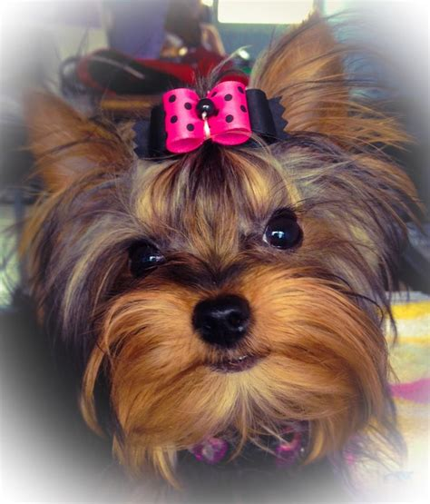 yorkies with bows pin by bow wow shoppe on great fur style