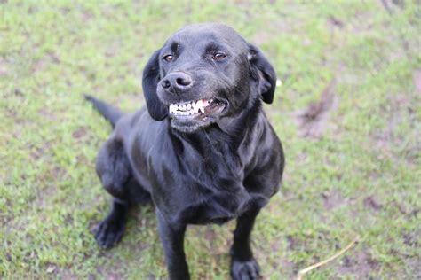 labrador retriever puppies information labrador retriever dogs breed information omlet