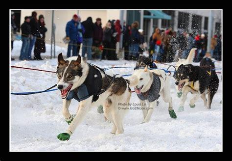 puppies on the run iditarod dogs on the run