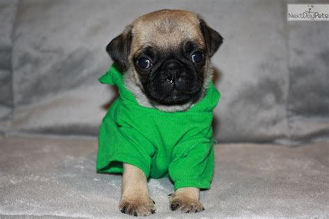 pug breeders dallas ringo pug puppy for sale near dallas fort worth 81cf14b7 5011