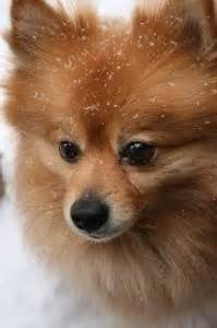 what do pomeranians look like 1000 images about pomeranian on pomeranians pomeranian boo and