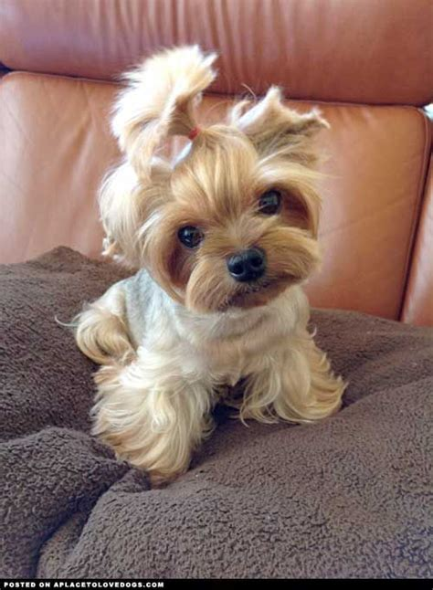 yorkie not 10 reasons why you should never own yorkies