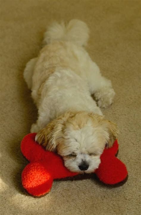 stuffed shih tzu my shih tzu stuffed toys and they call it puppy p