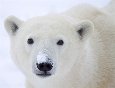 imagenes de osos navideños d 237 a internacional de los osos polares sustentabilidad