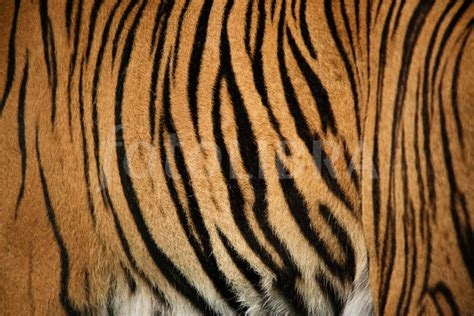 tiger striped image gallery tiger stripes