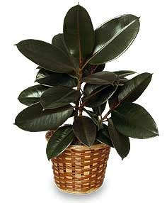 Indoor Houseplants by Rubber Plant Basket Ficus Elastica All House Plants