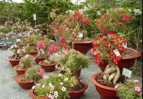 Bibit Anggrek Yogyakarta tanaman hias bunga camun