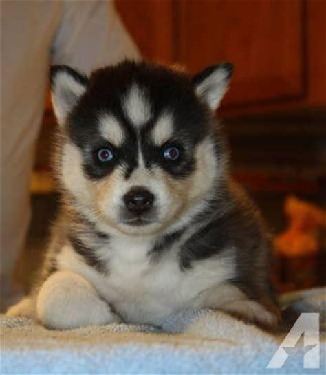 siberian husky puppies for sale in california akc siberian husky puppies for sale 8 weeks for sale in ramona california