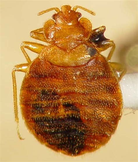 female bed bug biology and identification