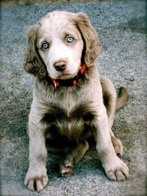 weimaraner puppies for sale in tn de 25 bedste id 233 er inden for weimaraner puppies p 229 weimaraner vizsla