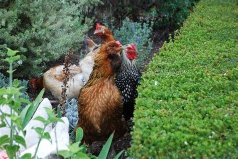 range chickens  garden great    care