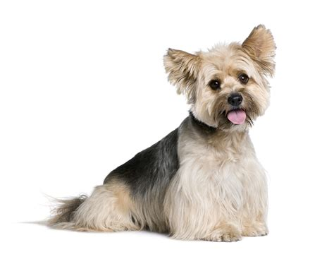 biewers yorkies biewer terrier allergy dogs our friends photo