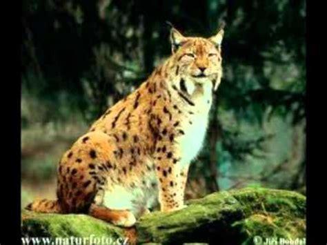 imagenes de animales carniboros animales carnivoros en peligro de extincion youtube