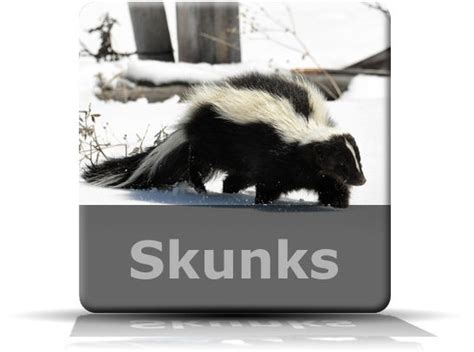 how to get rid of skunks in your backyard skunks grubs and how to get rid on pinterest