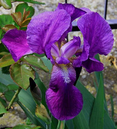 fior di giaggiolo fiore di giaggiolo viola dizy foto