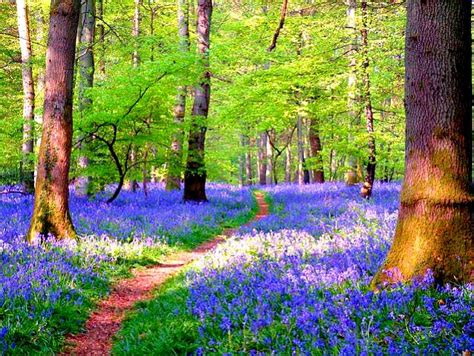 bluebell forest enchanted forests carpeted in beautiful bluebells http