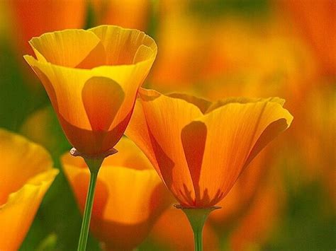 official state flowers california poppy official state flower beautiful