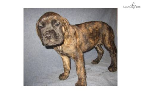 brindle mastiff puppy akc mastiff puppy gus brindle breeds picture