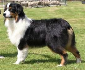 tri colored australian shepherd tri color australian shepherd dogs are like family