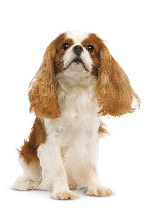 cavalier king eleveur cavalier king charles spaniel trouver un 233 levage de chiens de race cavalier