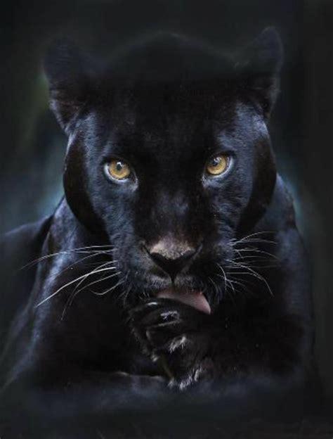 black leopard beautiful black panther black panther pinterest