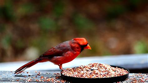 cardinal eating sunflower seed youtube