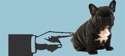 how many puppies do bulldogs bulldog weight guide is your frenchie healthy