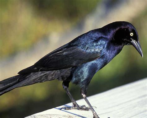 boat tailed grackle audubon field guide